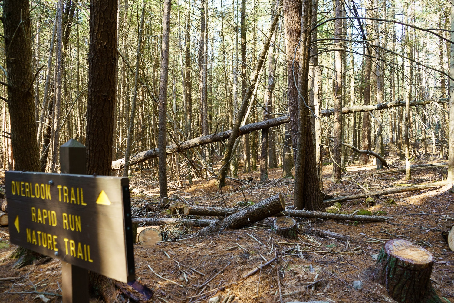 A fallen tree in the pine forest.